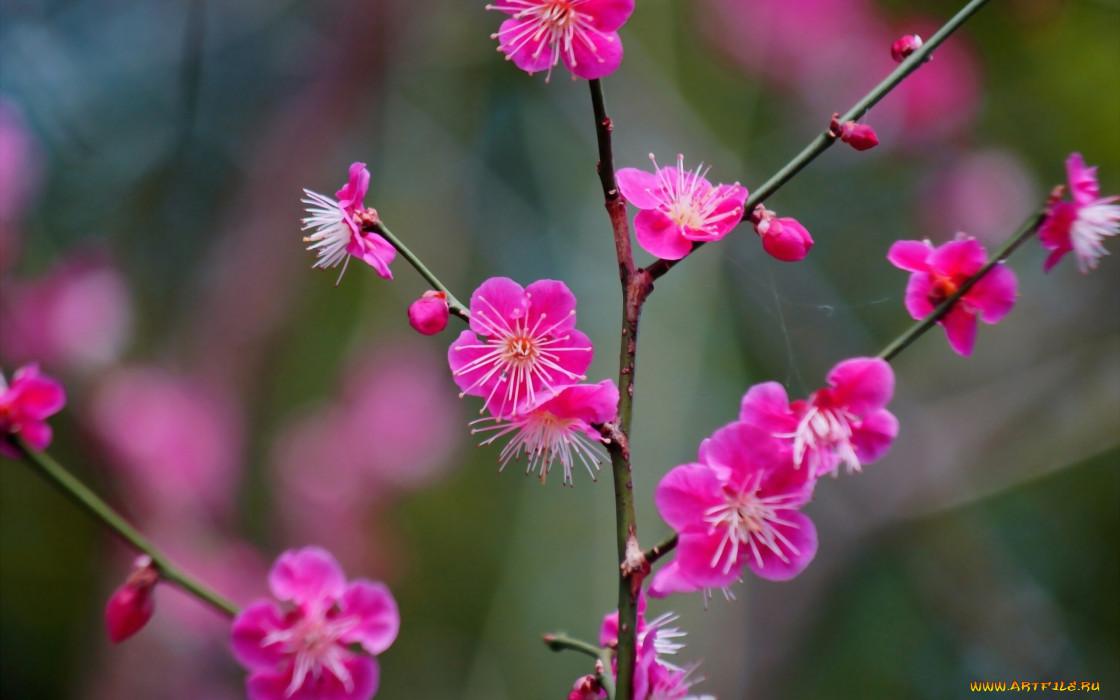 цветы, цветущие деревья ,  кустарники, цветение, цветки, ветка, абрикос, японский
